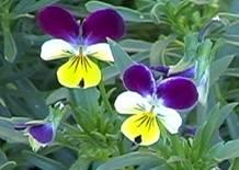 http://www.cottnat.com.au//wp-content/uploads/2013/12/Viola tricolor.jpg