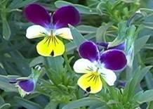 https://www.cottnat.com.au//wp-content/uploads/2013/12/Viola tricolor.jpg